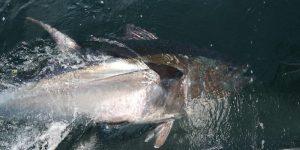 2016 Annual Bluefin Tuna Newsletter